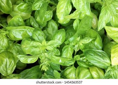 close up of many fresh basil leaves