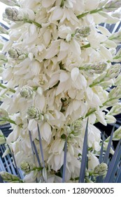Close up of many white flowers of the yucca plant in bloom