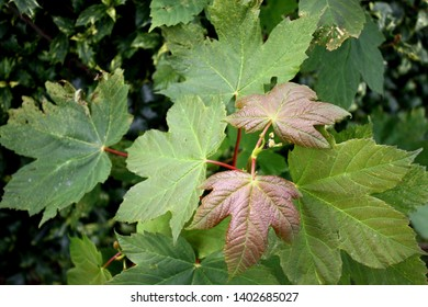 Close up of maple leaves in Blarney, Republic of Ireland