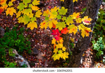 Close up of maple leaves in peak fall foliage season in Acadia National Park, Maine