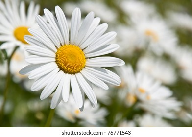 Close up of marguerites in a marguerite sea