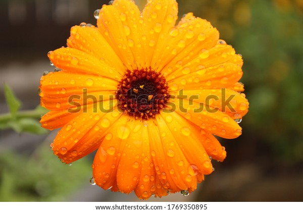 close-marigold-flower-head-rain-600w-176