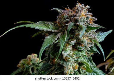 "Close up of a marijuana bud from a cannabis sativa indica hybrid phenotype in late flowering stage as indicated by the darkened and curled in pistils or ""hairs"" and the cloudy trichomes or ""crystals""."