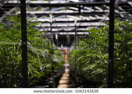 A close up of the marijuana farm industry. Beautiful macro and micro shots. Green house, outdoor, indoor plants. Harvesting cannabis, planting weed and more.