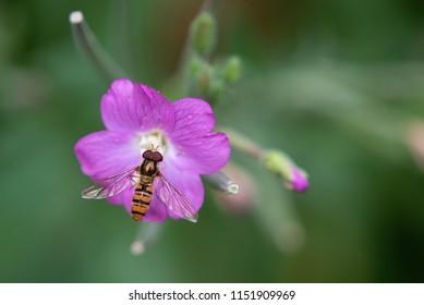 Close up of Marmalade Hoverfly collecting pollen from purple plant.
