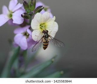 close up of marmalade hoverfly or Episyrphus balteatus sitting on flower in the garden