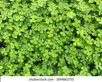 Close up of Marsilea Four leafed clover