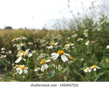 Close up of Matricaria chamomilla flowers, commonly known as chamomile, wild chamomile or scented mayweed a family of Asteraceae.  Morning shot with paddy-fields and clear sky as background.