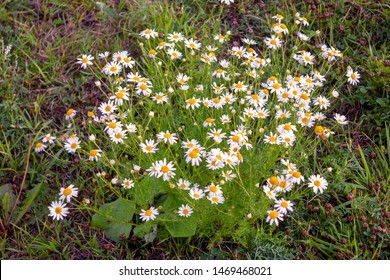Close up of Matricaria chamomilla flowers, commonly known as chamomile, wild chamomile or scented mayweed a family of Asteraceae. Matricaria chamomilla on wildflower meadow.