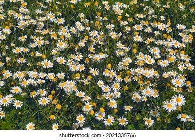 Close up of Matricaria chamomilla flowers, commonly known as chamomile, wild chamomile or scented mayweed a family of Asteraceae.