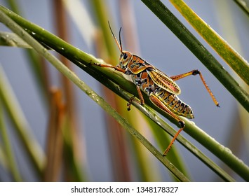 Close up of a Mature Eastern Lubber Grasshopper (Romalea Microptera) resting in the grass in the Florida Everglades