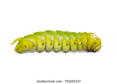 Close up of mature Lesser Death's Head hawkmoth (Acherontia styx), isolated on white background with clipping path