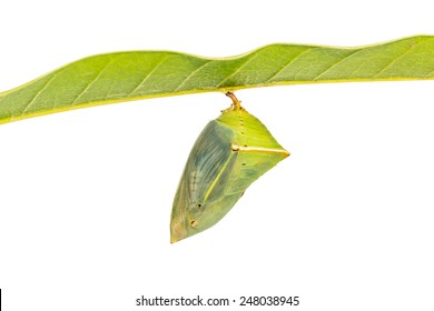 Close up of mature Mango Baron (Euthalia aconthea garuda) pupa just before its emerging, isolated on white background with clipping path