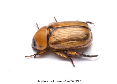 close up may beetle or cockchafer isolated on white background