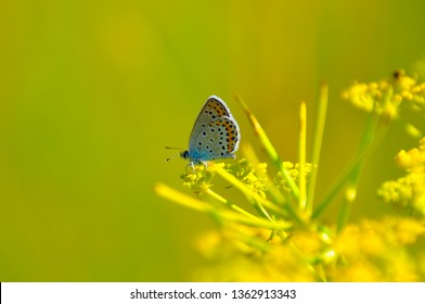 close up of a Mazarine blue butterfly or Blue wing, Cyaniris semiargus