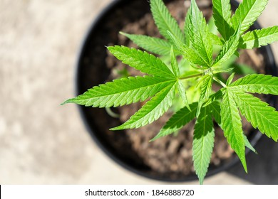 Close Up of Medical Marijuana Plant