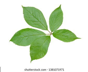 A close up of the medicinal plant (Eleutherococcus senticosus). Isolated on white.