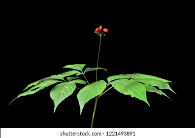 A close up of the medicinal plant ginseng (Panax ginseng). Isolated on black.