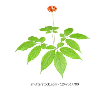A close up of the medicinal plant ginseng (Panax ginseng) with red berries. Isolated on white.