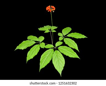 A close up of the medicinal plant ginseng (Panax ginseng) with red berries. Isolated on black.