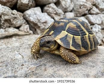 Close up Mediterranean turtle in Menorca