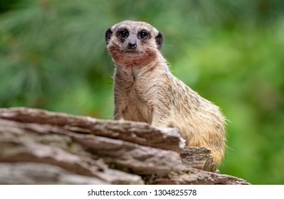 Close up of Meerkat sitting on the tree