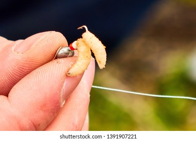 Close up Men's hands hold a small box with maggots and put bait on the hook, Fisherman with worm , many maggots closeup
