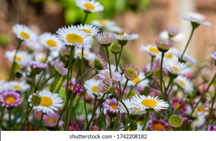 Close up of Mexican daisies, also called Cornish daisies, with white petals and yellow centres. Before they open up they are pink. The flowers attract bees and butterflies.