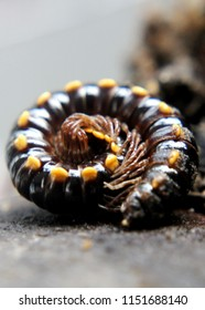 close up of a millipede an invertebrate arthropod with two pair of legs, a garden pest seen in a home garden in sri lanka