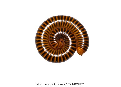 Close Up Millipede an Isolated On White Background