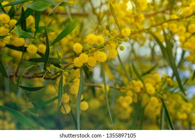 Close up Mimosa flower backdrop.