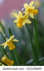 close up of miniature daffodils in bloom