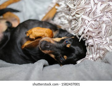 Close up of miniature pinscher (Canis lupus familiaris, mini doberman) on white cushion and blanket. Dog is in supine position with bended legs.