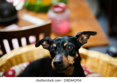 Close up of miniature pinscher head with ears up (Canis lupus familiaris, mini doberman). Dog is sitting in a basket.