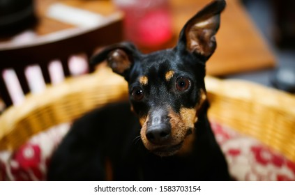 Close up of miniature pinscher head with ears up (Canis lupus familiaris, mini doberman). Dog is sitting in a basket. (Focus on right eye)