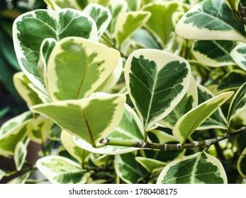 Close up Mistletoe fig or Mistletoe rubber plant (Ficus deltoidea), heart shaped leaf