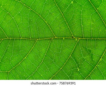 Close up of Mitragyna speciosa leaves.
