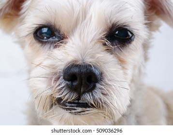 Close up mixed breed dog ( Shih-Tzu / Schnauzer ) with sleepy face. Template for animal and pet, education, food and drink product.