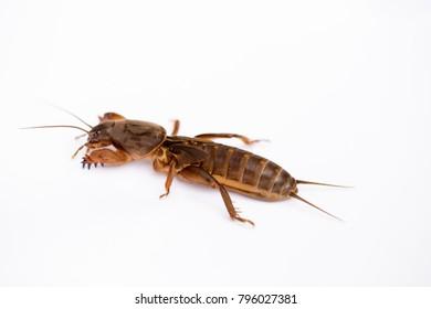 Close up mole cricket (Gryllotalpa gryllotalpa) isolated on a white background.