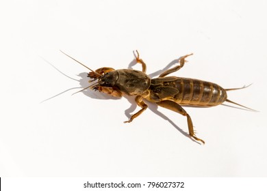 Close up mole cricket (Gryllotalpa gryllotalpa) and its shadow isolated on a white background.