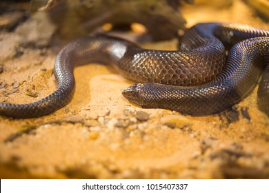 Close up of a mole snake in a snake tank