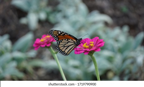 Close up of a Monarch Butterfly