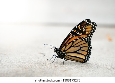 Close Up of Monarch Butterfly on Concrete with Copy Space