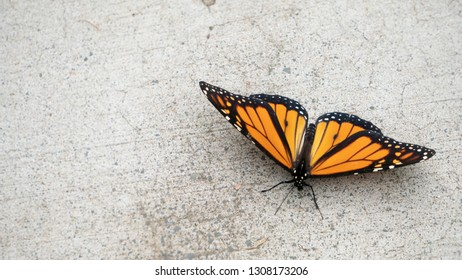 Close Up of Monarch Butterfly with Wings Open on Concrete from Above with Copy Space