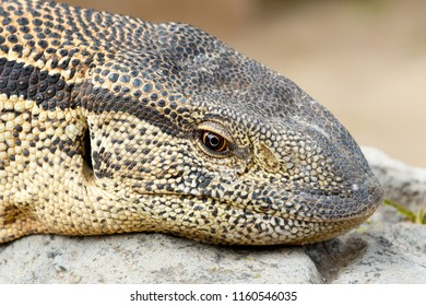 Close Up of a Monitor Lizard sitting on a rock in the sun