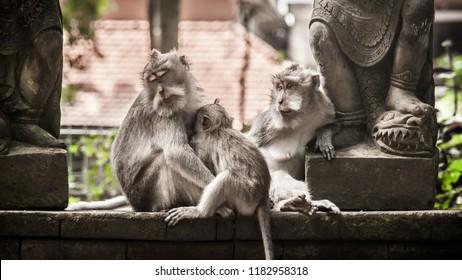 Close up of monkey family sitting in sacred monkey forest. Ubud, Bali. Indonesia