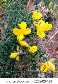 close up of a moorland gorse bush with bright yellow flower.