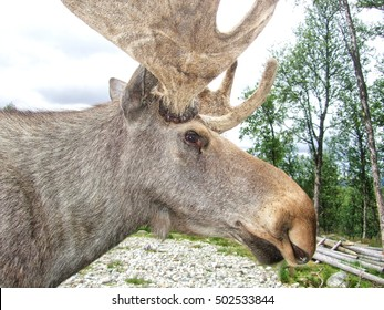 Close up of a moose in Norway