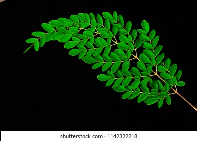 close up of Moringa leaves isolated on black background. Moringa Oleifera tea leaves on branches with negative space for text and advertising mock up for moringa wording on health benefits