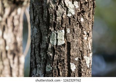 Close up Mos on Cinnamomum camphora tree